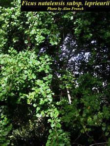 Ficus natalensis subsp. leprieurii