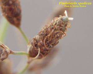 Fimbristylis spadicea