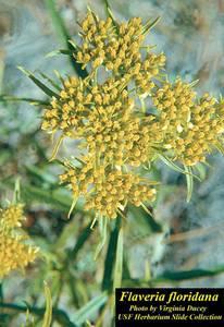 Flaveria floridana