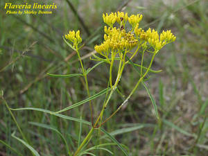 Flaveria linearis
