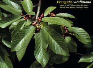 Frangula caroliniana