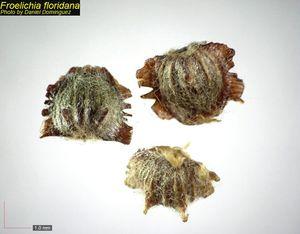 Froelichia floridana