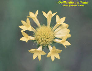 Gaillardia aestivalis