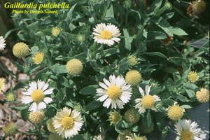 Gaillardia pulchella
