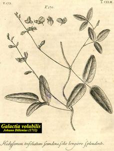 Galactia volubilis
