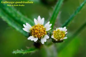 Galinsoga quadriradiata