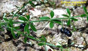 Galium hispidulum