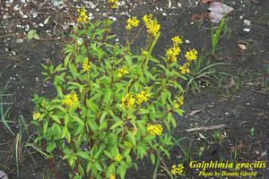 Galphimia gracilis