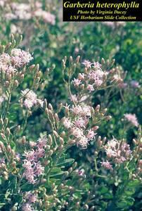Garberia heterophylla