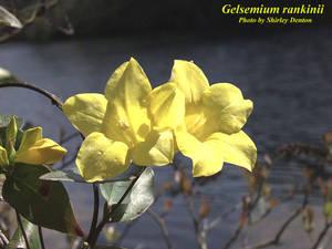 Gelsemium rankinii
