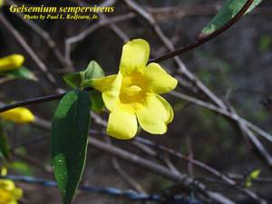 Gelsemium sempervirens