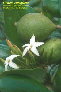 Genipa clusiifolia