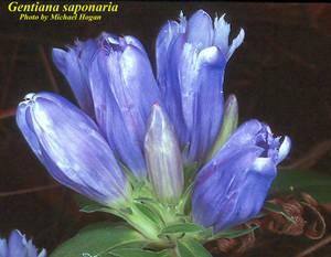 Gentiana saponaria