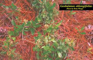 Geobalanus oblongifolius