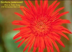 Gerbera jamesonii