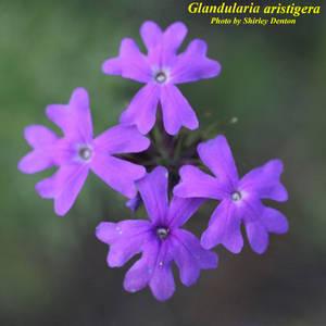 Glandularia aristigera