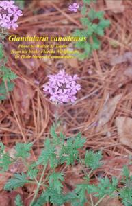 Glandularia canadensis