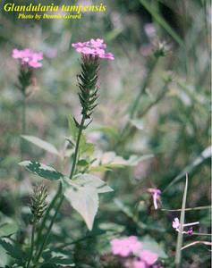 Glandularia tampensis