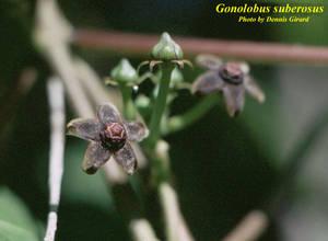 Gonolobus suberosus