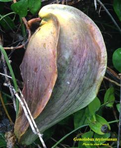 Gonolobus taylorianus