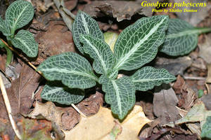 Goodyera pubescens