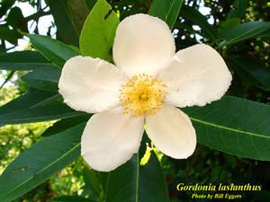 Gordonia lasianthus