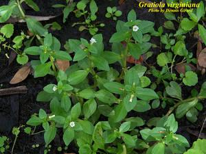 Gratiola virginiana