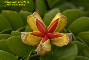Guaiacum sanctum