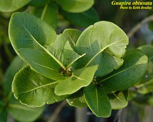 Guapira obtusata