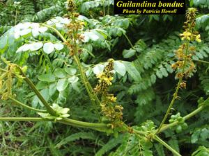 Guilandina bonduc