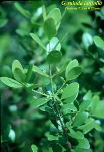 Gyminda latifolia