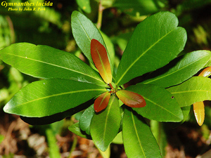 Gymnanthes lucida