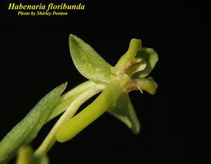 Habenaria floribunda