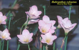 Habranthus robustus