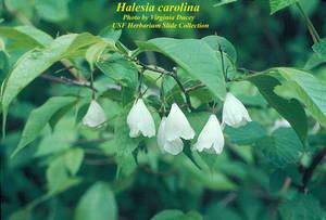 Halesia carolina