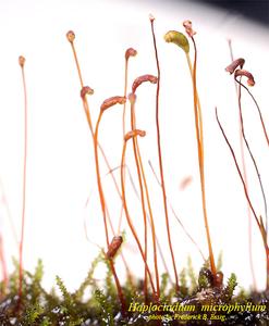 Haplocladium microphyllum
