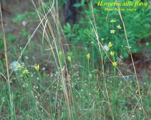 Harperocallis flava