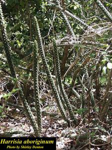 Harrisia aboriginum
