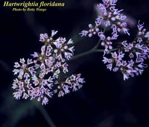 Hartwrightia floridana