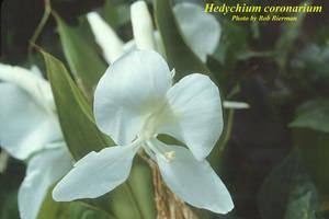 Hedychium coronarium
