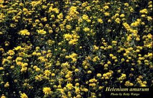 Helenium amarum