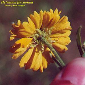 Helenium flexuosum