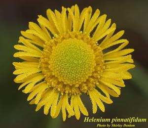 Helenium pinnatifidum