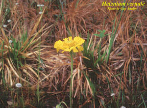 Helenium vernale