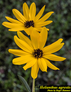 Helianthus agrestis