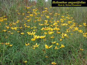 Helianthus angustifolius