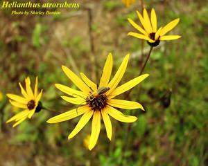 Helianthus atrorubens