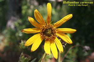 Helianthus carnosus