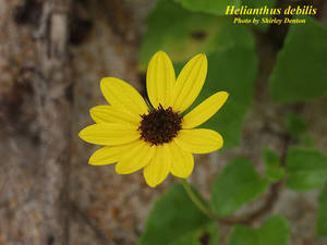 Helianthus debilis