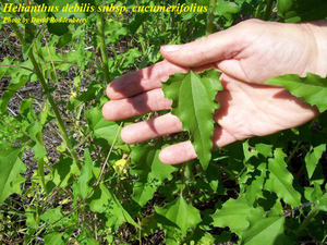 Helianthus debilis subsp. cucumerifolius